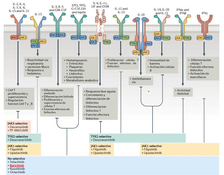 Las JAK-quinasas intervienen en la señalización intracelular de numerosas citoquinas y en la modulación de la respuesta inflamatoria e inmune.Nature