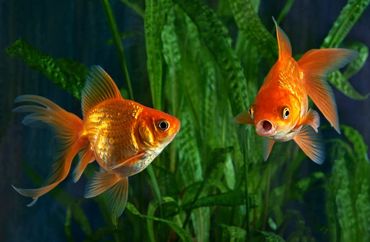 Two goldfish in an aquarium
