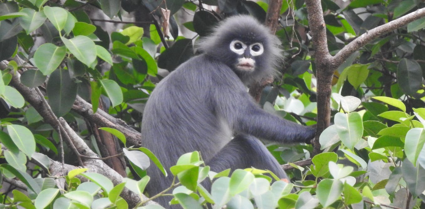 The world's newest monkey species was found in a lab, not on an expedition