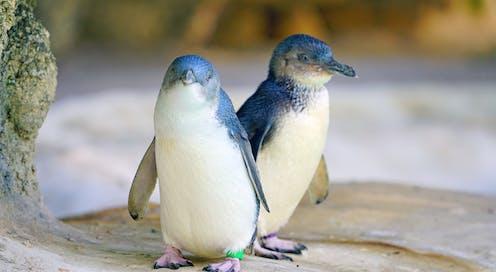 Two little penguins