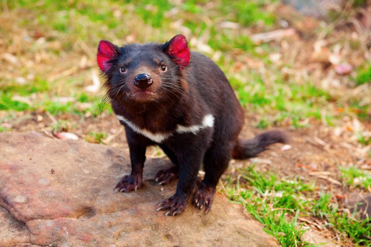 Tasmanian devil standing on a rock