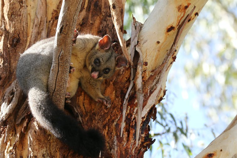 Brushtailed possum in a tree