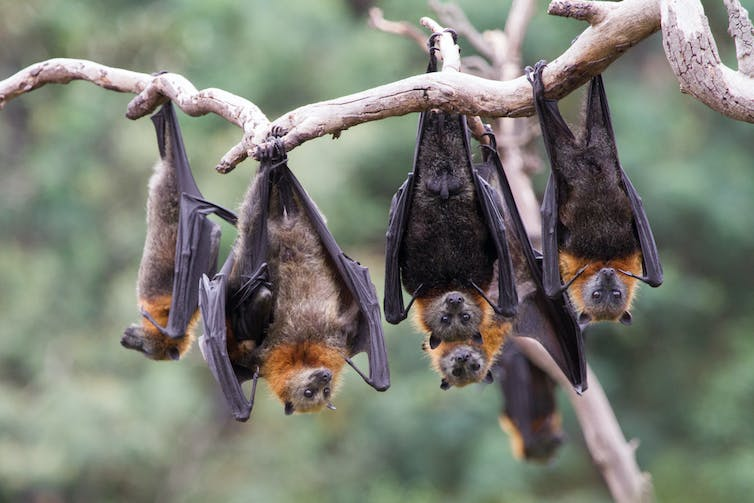 Grey-headed flying-foxes hanging from a branch