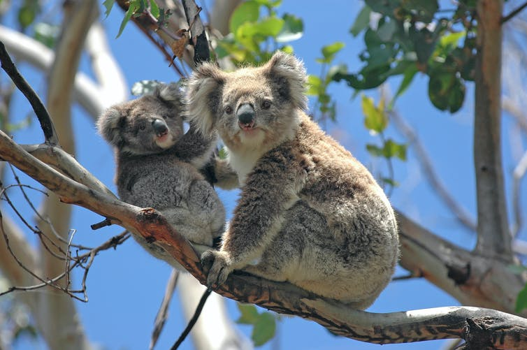 Adult and juvenile koala