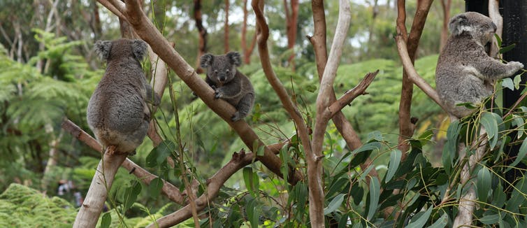Three koalas in trees