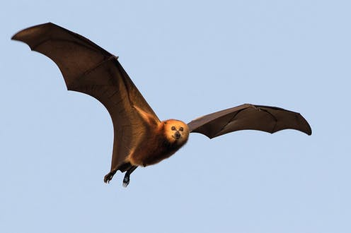 A large flying bat smiles at the camera
