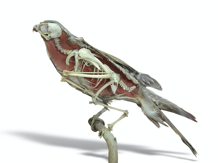 A falcon illustration with its skeleton inside visible.