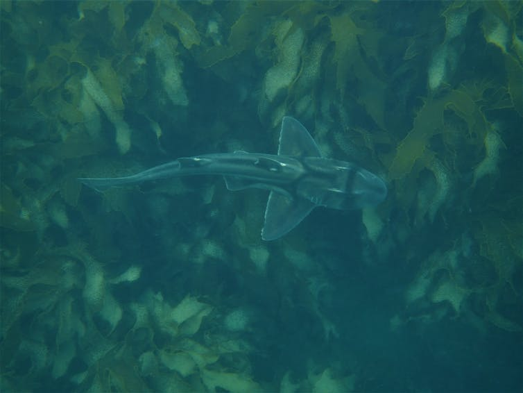 The top of a swimming Port Jackson shark