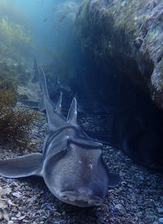 A Port Jackson shark swimming on the sea bed