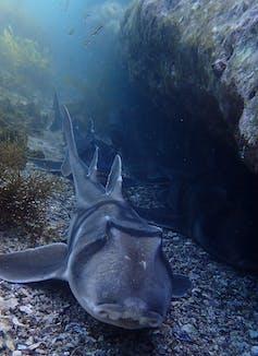 Shark Port acksexon swims on the seabed
