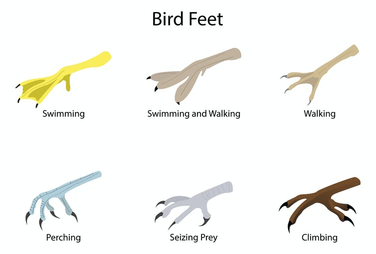 Diagram showing different types of bird feet