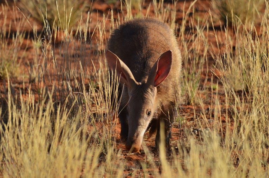 Aardvark walking in dry areas.