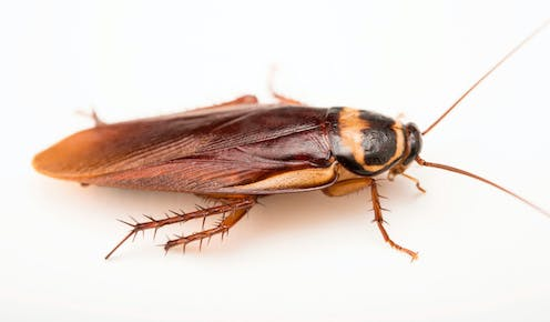 An Australian cockroach on a white background.