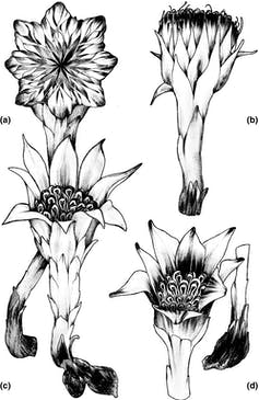 The floral structures of four described species of _Rhizanthella_