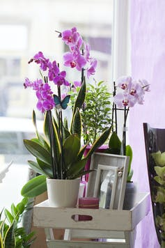Moth orchids with purple flowers in a pot