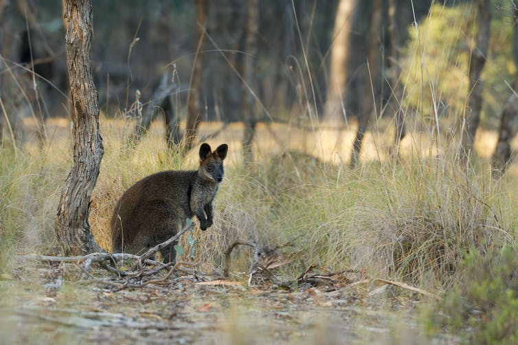 A swamp wallaby in the bush