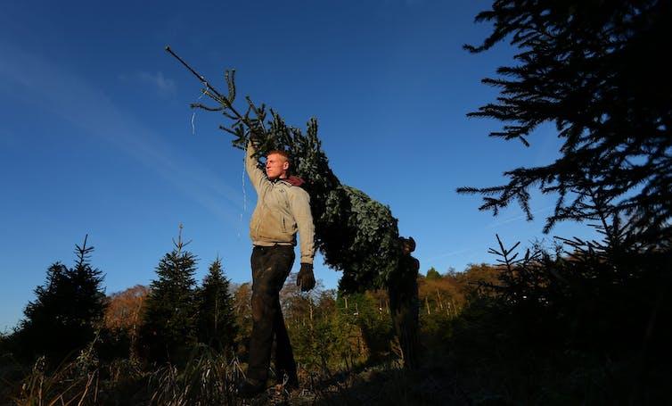 A man carries a tree through a plantation.