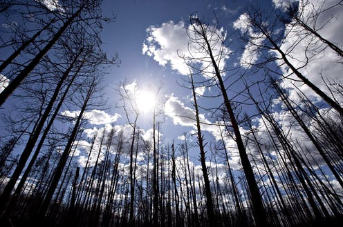 A stand of burnt trees with the sun and clouds behind them.