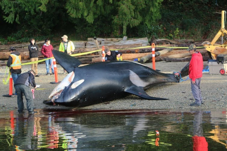 A dead killer whale lies on a beach