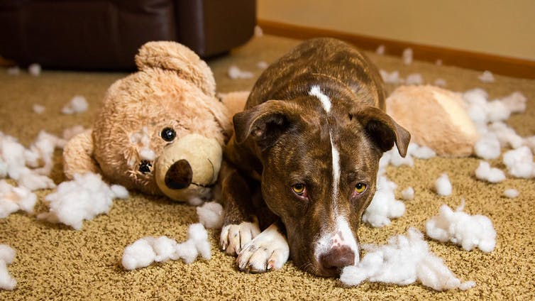 Dog sitting in remains of a shredded stuffed animal.