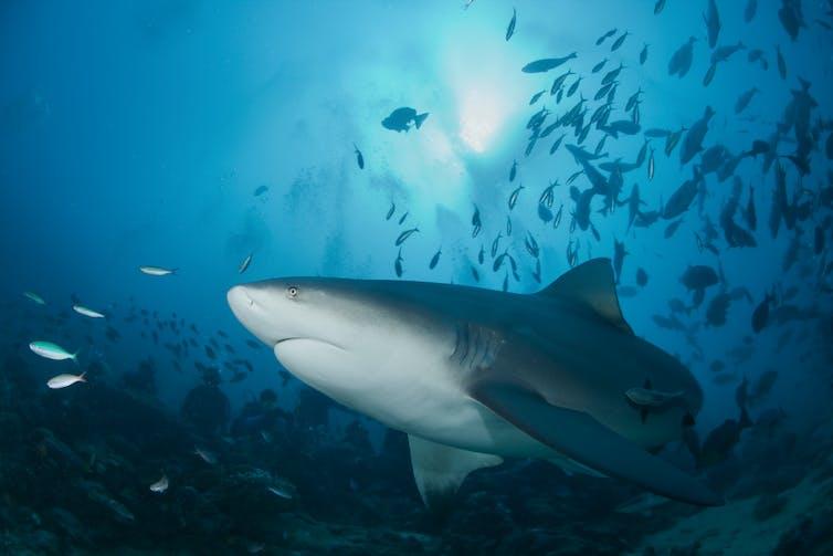 Bull shark swims near smaller fish