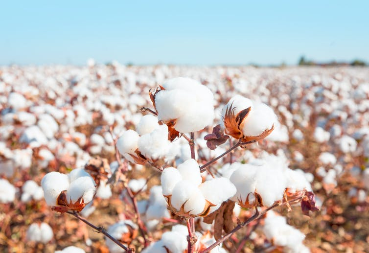 A close-up image of a cotton boll within a large cotton field.