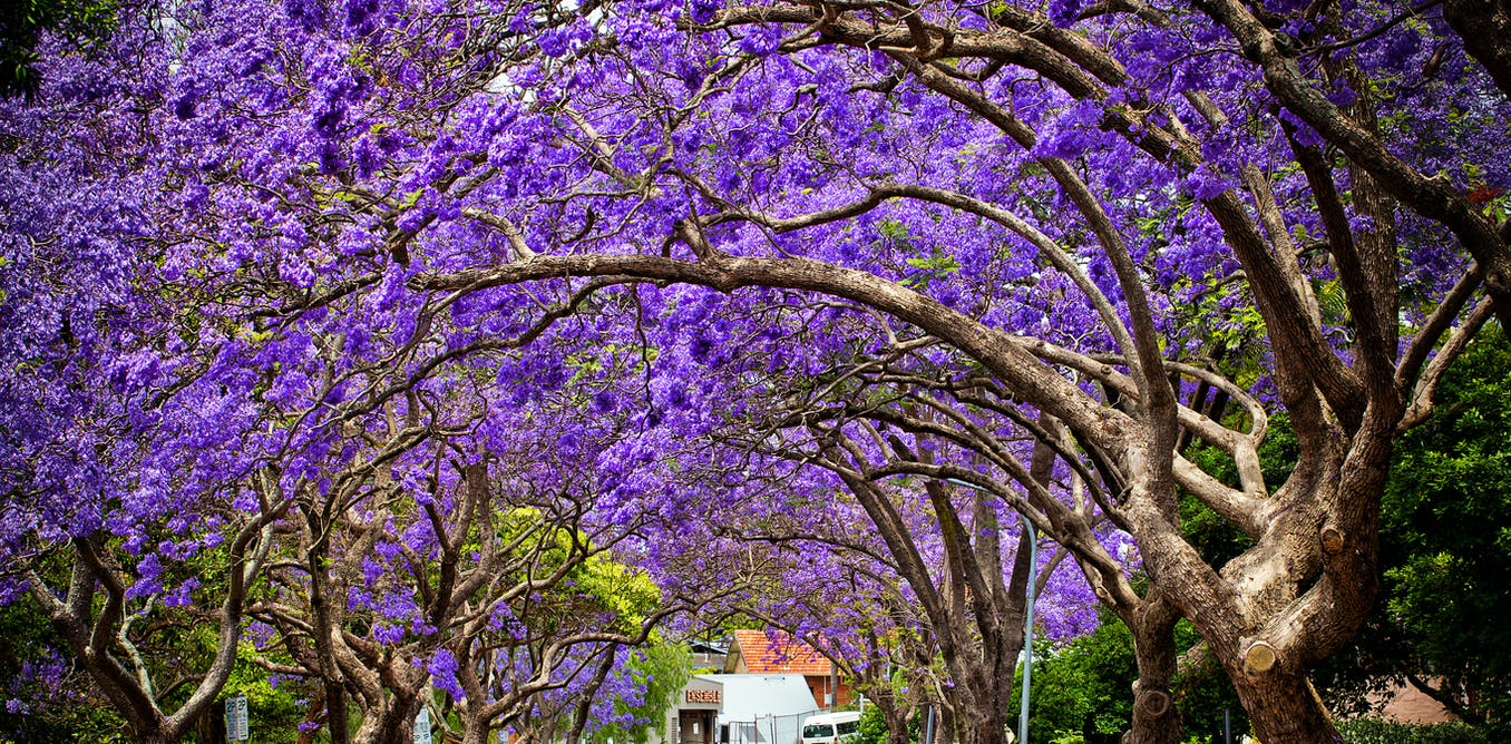 Why theres a lot more to love about jacarandas than just their purple flowers
