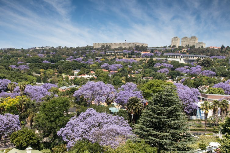 Aerial shot of purple jacaranda canopies among green canopies.