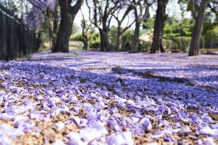 Purple jacaranda flowers covering the ground.