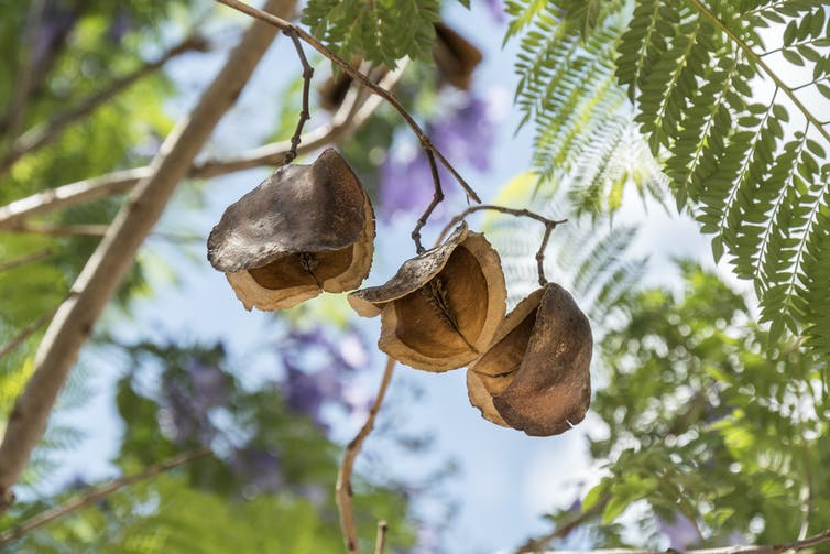 Dried brown jacaranda pods hanging from a branch