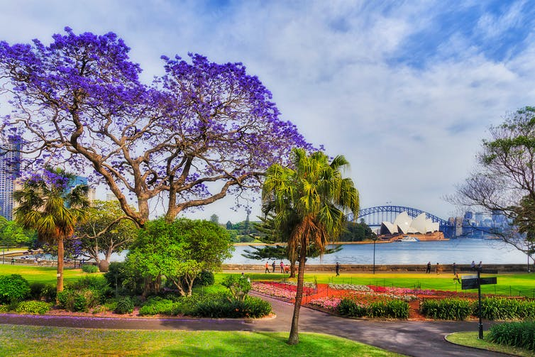 Jacaranda tree by Sydney Harbour