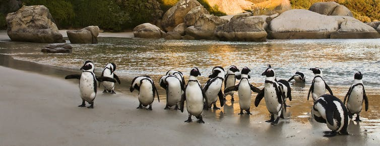 African Penguins on Boulders Beach, Cape Town, South Africa.
