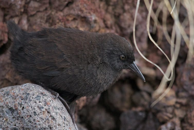 A small dark brown bird sits on a rock.
