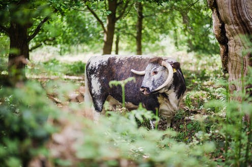 A cow stands in a forest clearing.