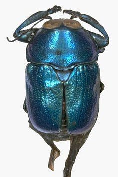 An image of a iridescent green-blue beetle.
