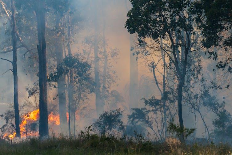 Asap dan api di hutan eukaliptus