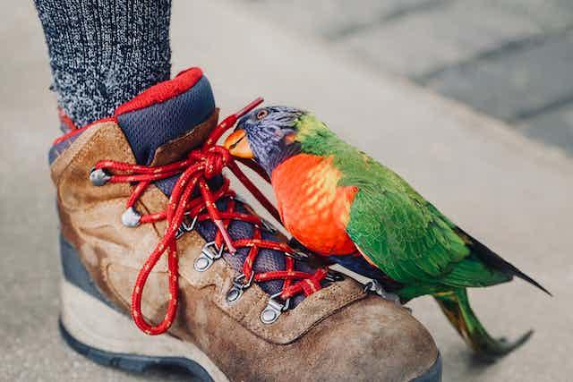 Rainbow lorikeet plays with a shoelace