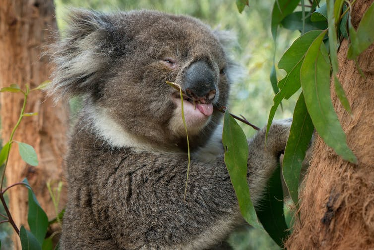 Noojee all grown up at Healesville Sanctuary, now with a crooked face.