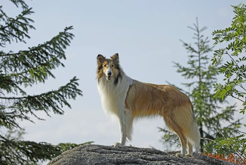 A collie dog stands on a ridge