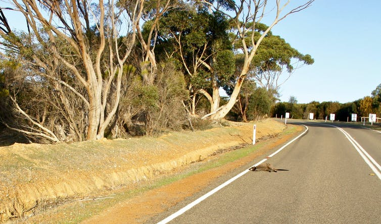 A dead kangaroo on the side of the road