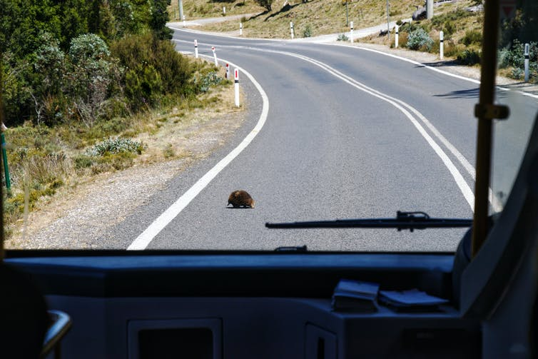 View from inside a bus of an echidna crossing the road
