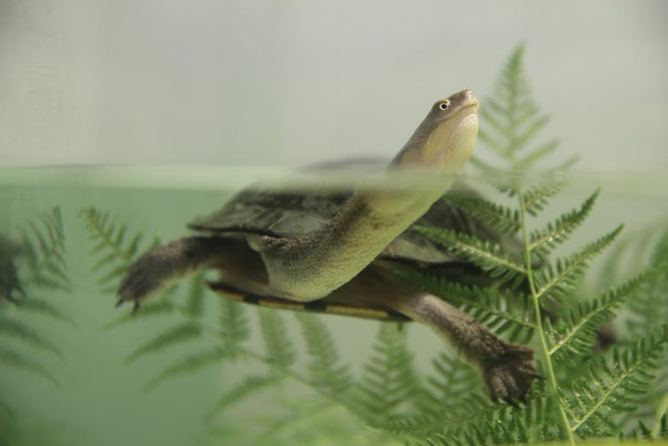 A long-necked turtle peeking over the water