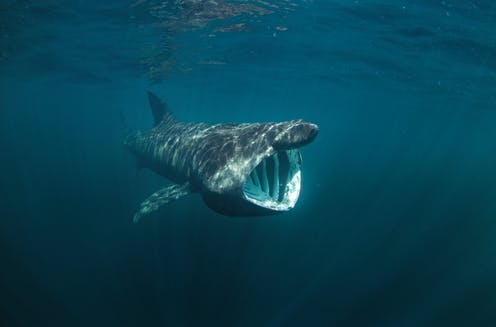 A basking shark shown feeding with its toothless mouth wide open.
