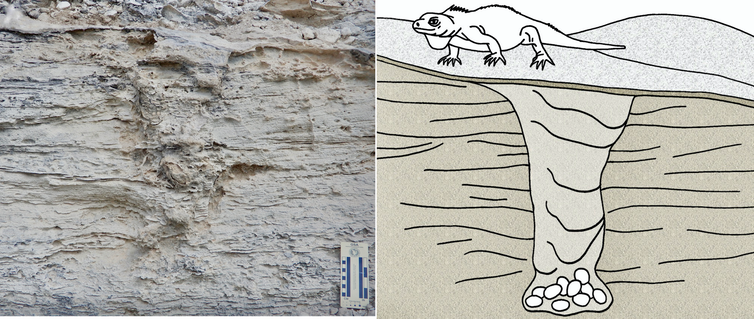 Photo of the fossilized burrow side by side with a drawing showing an iguana having just completed building a nest.