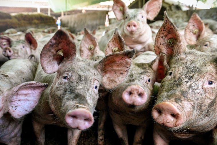 Jostling pigs look at the camera.