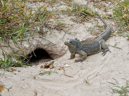 An iguana stands next to a burrow in the sand.