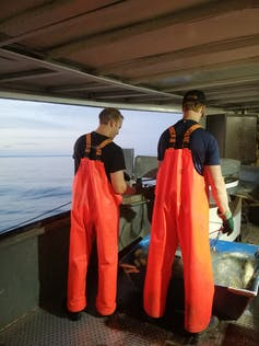 Two men in bright orange overalls pull fish from a haul