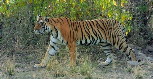 Harimau berjalan di antara dedaunan.