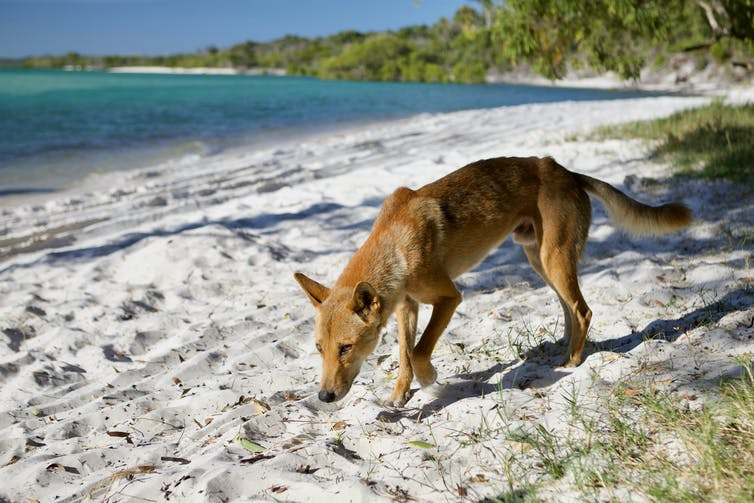 A dingo on the beach