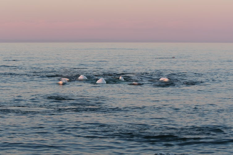 Backs of belugas beneath a rosy sky